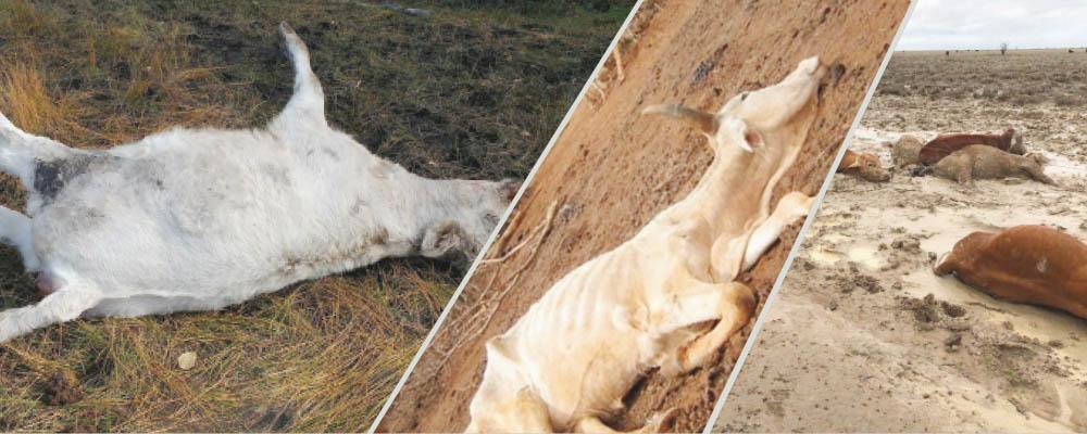 Livestock Insurance failure