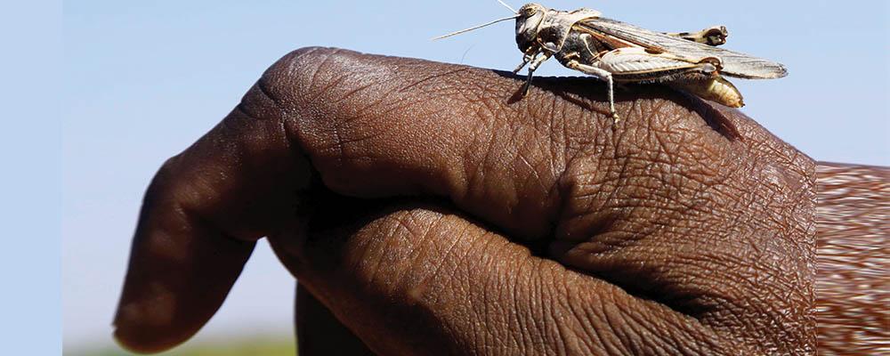 Desert-Locust.jpg